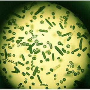 La spiruline des Vikings vue au microscope