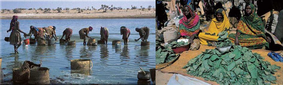 La spiruline est récoltée au Tchad